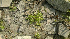 Creeping marshwort